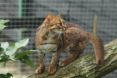Rusty Spotted Cat - ZooChat