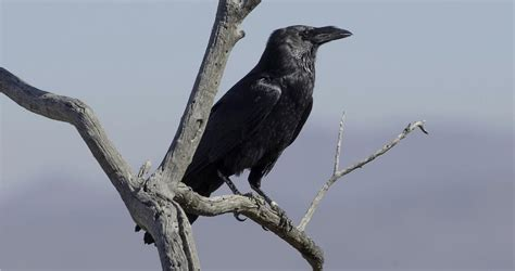 Chihuahuan Raven Life History, All About Birds, Cornell