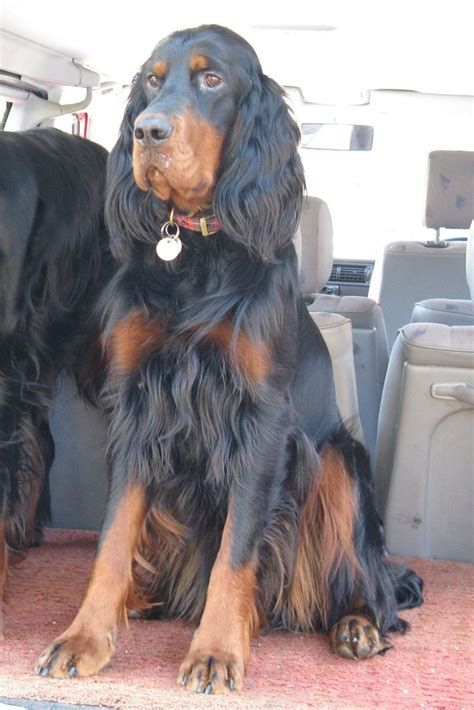Gordon Setter #setters #canines #dogs #puppies #pets #