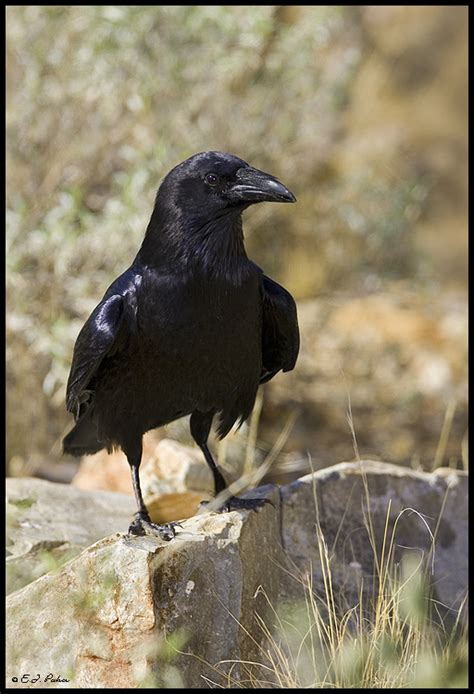 Chihuahuan Raven Page