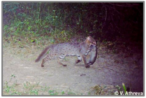 What does the rusty-spotted cat eat? – PoC