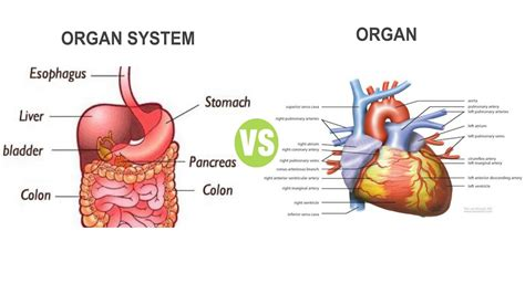 Difference Between Organ and Organ System Explained